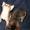 Абиссинские котята Питомник абиссинских кошек #909027