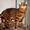 Вязка бенгальских кошек Питомник бенгальских кошек #1035004