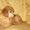 Щенок карликового пуделя #1503246