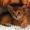 абиссинские котята  дикого окраса - Изображение #2, Объявление #1354632