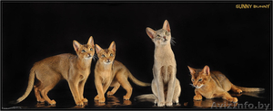 абиссинские котята  дикого окраса - Изображение #1, Объявление #1354632