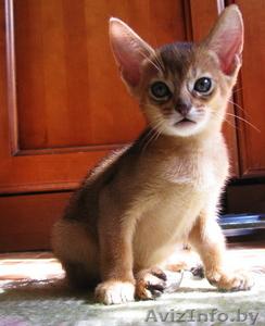 абиссинские котята  дикого окраса - Изображение #4, Объявление #1354632