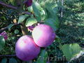 саженцы яблони продаются