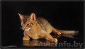 Вязка абиссинских кошек Питомник абиссинских кошек