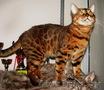 Вязка бенгальских кошек Питомник бенгальских кошек