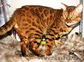 Вязка бенгальских кошек Питомник бенгальских кошек - Изображение #3, Объявление #1035004
