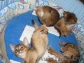 Абиссинские котята Питомник абиссинских кошек - Изображение #2, Объявление #909027
