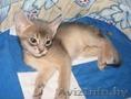 Абиссинские котята Питомник абиссинских кошек - Изображение #5, Объявление #909027