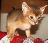 Абиссинские котята Питомник абиссинских кошек - Изображение #4, Объявление #909027