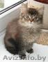 Британские длинношерстные(хайленд) котята уникальных окрасов Питомник