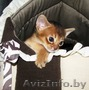 абиссинские котята  дикого окраса - Изображение #3, Объявление #1354632