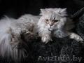 Британская полудлинношерстная кошка Питомник британских кошек  #sunnyb