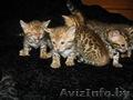 Бенгальские котята Питомник бенгальских кошек .