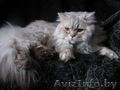 Британская полудлинношерстная кошка Питомник британских кошек.