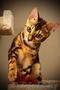 Бенгальские котята мрамор на золоте от титулованных производителей